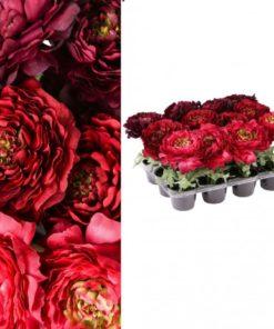Ranonkelo bloem in pot , PTMD-0