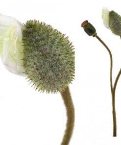 Poppy flower white bud, PTMD-0