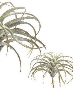 succulent plant light green flocked tilandsia, PTMD-0