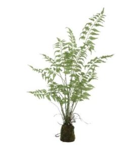 fern plant green asparagus Grass bunch in clod m - PTMD-0